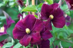 Clematis 'Warszawska Nike' - A late, large-flowered clematis that produces rich, velvety-purple flowers freely in midsummer. The flowers are often 10cm across and usually a second flush will appear in September. An easy-to-grow climber that's great for a sunny wall and looks especially lovely when planted with a deep pink climbing rose, such as Rosa 'Zephirine Drouhin'.
