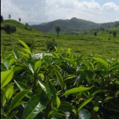 tea plantation in bandung, west java, indonesia.  visit www.lagunatrip.com
