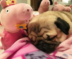 Pug and pigs are ready for bed!! Fairy Peppa Pig said she'd come to dreamie land and grant all our wishes  see you there Godnat my special big brother Joey @joeyandgittewest4 Doug @doug.the.pug Arnie @arniespuglife Frank and Stan @frank_and_stan_rule_the_world Carlos and Pablo @miss.carlino_and.pugs Alfie and Suzie @themacpugs Alphie and Teddy @alphie.and.teddy.pug and Edd and Vinny @eddthepug @pugalicious_vinny  #purepugspp #pug #pugs #pugsofinstagram #pugbasement #pugsproud_feature…