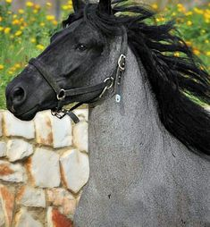 Blue roan Murgese stallion from Apulia, Italy. via Parco Piano.