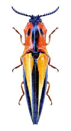 Semiotus angulatus