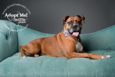 Meet Miss Demeanor - Available for Adoption from Legacy Boxer Rescue