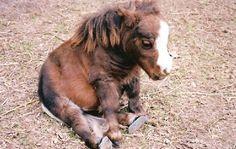 'Baby mini horse.' Oh god so adorable.