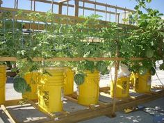 Green Roof Growers Growing Melons in Sub Irrigated Details 38 Vegetable Garden In 5 Gallon Buckets Bucket Gardening, Container Gardening, Gardening Tips, Container Vegetables, Kitchen Gardening, Growing Melons, Growing Vegetables, Tips And Tricks, Agriculture