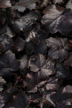 2012 Year of the Heuchera: 'Black Out'. -- What a gorgeous variety of heuchera (aka coral bells). Might have to get some of these for my backyard. Dark Flowers, Wild Flowers, Shade Garden, Garden Plants, Coral Bells Heuchera, Gothic Garden, Black Garden, Foto Art, White Gardens