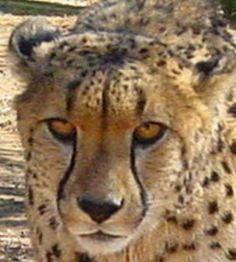 Wist je dat als je een cheetah, leeuw of luipaard adopteert, je een foto van jouw 'kat' ontvangt? Kan je bijvoorbeeld inlijsten. En je ontvangt het levensverhaaal van je kat: waar komt ie vandaan en wat heeft ie al meegemaakt?  Hoe het verder gaat met je adoptiekat hoor je jaarlijks van ons. Je kent vast wel iemand die het prachtig zou vinden om een kat zoals de bijzondere cheetah Merlot te adopteren. ♥  Doe het nu: http://www.stichtingspots.nl/index.php?page=356