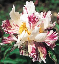 ~Klehm's Song Sparrow Farm and Nursery--Peonies/Paeonia--'Raspberry Twist'