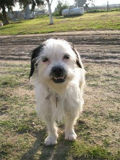 ADOPTED!!! Wirehaired Terrier X. Bakersfield, CA. #1! Smiley is 3 yrs, 10 lbs. Earned her name rightfully! Little shy at first, but once comfortable, turns into Miss Congeniality! Gets along w/ Dogs of all sizes, CATS & Farm animals! Smiley loves to enjoy cool breezes & roll in the grass. May need to polish her house skills, but very smart & aims to please. If you are interested in this one of a kind dog, please contact our rescue! Spayed, utd shots & microchipped. Adoption fee $225.