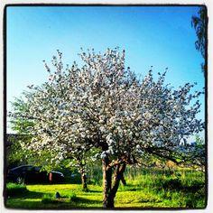Apple tree in bloom. Sorunda, Stockholm Sweden 2012