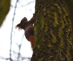 """Franconian """"Eichhörnla"""" #eichhoernchen #eichhörnchen #eiche #eichhorn #squirrel #squirrels #squirrelsofinstagram #squirrellove #sciurus"""