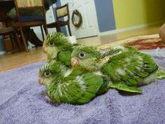 baby quaker parrots. ... eek!