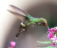 Frilled Coquette Lophornis magnificus | Frilled Coquette - Lophornis magnificus - female