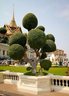 Bangkok tree
