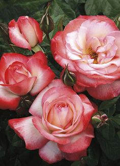 Coretta Scott King Roses