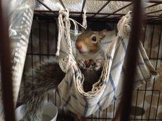 Squirrel & hammock