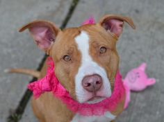 TO BE DESTROYED 4/14/15 – COCO – A1032608 – BROOKLYN, NY- P- My name is COCO. My Animal ID # is A1032608. I am a female tan and white pit bull mix. The shelter thinks I am about 1 YEAR 4 MONTHS old. I came in the shelter as a OWNER SUR on 04/08/2015 from NY 11208, owner surrender reason stated was MOVE2PRIVA.