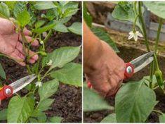 Ha ezt teszed a paprika bokorral, nyár végéig 3-szor annyi termést hoz majd! Herb Garden, Garden Tools, Pruning Shears, Herbs, Outdoor, Crochet, Health, Fitness, Agriculture