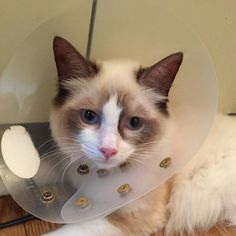 . おむかえおそいにゃ…🐾 . 先月健康診断に行ったら両目が見えてないと言われました。1つじゃ信じられなかったので違う病院へ…そこでも同じ結果。目の専門の先生に聞いてもらったら健康な猫ちゃんよりも目が悪いとのこと。見えてないわけじゃないみたいでした。よかった。今日避妊手術を終えて無事帰宅😭カラーが邪魔そー😭抜糸まで我慢してねゆめちゃん😫 そしてデブと言われました…笑 . . #避妊手術#カラー邪魔#ゆめ#ぽちゃ猫#ラグドール#愛猫#もふもふ#ねこすたぐらむ#ねこすきさんと繋がりたい#ねこ部🐈