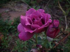 Angel Face, a super-fragrant rose