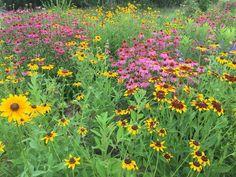 GROWING WILDFLOWERS: LIST OF NATIVE PLANTS  WILDFLOWER GROWING TIPS AND FAVORITE SPECIES | Wildflowers Native List