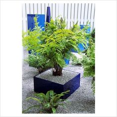 GAP Photos - Garden & Plant Picture Library - Ferns in square Acrylic container with gravel mulch - GAP Photos - Specialising in horticultural photography