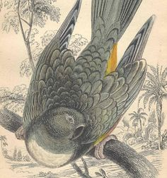 1850s Antique Parrot Engraving Arara Patagonia Hand Colored Bird Jardine Naturalist's Library Ornithology by catladycollectibles on Etsy