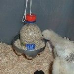 Plastic Bottle Chick Feeder