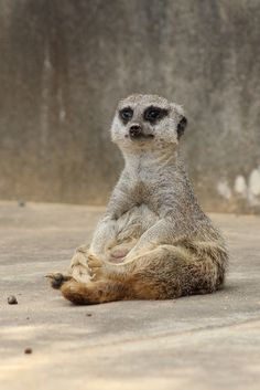 Meerkats live in all parts of the Kalahari Desert in Botswana, in much of the Namib Desert in Namibia and southwestern ...