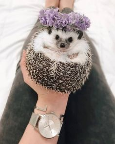 love beautiful things, beautiful places, and beautiful people. Baby Animals Super Cute, Pretty Animals, Cute Little Animals, Cute Funny Animals, Animals Beautiful, Hedgehog Pet, Cute Hedgehog, Baby Animals Pictures, Cute Animal Pictures