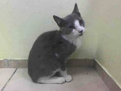 NYACC*URGENT*PRECIOUS YOUNG GRAY/WHITE KITTY* TO BE DESTROYED 7/29/14 Brooklyn Center  My name is PATCH. My Animal ID # is A1008003. I am a male gray and white domestic sh mix. The shelter thinks I am about 4 MONTHS old.  I came in the shelter as a STRAY on 07/25/2014 from NY 11412, owner surrender reason stated was STRAY. I came in with Group/Litter#K14-187342…