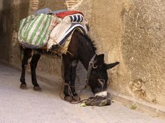 Donkey - Marocco