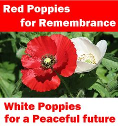 white and red poppy - Google Search