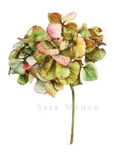 Hydrangea macrophilla - Sara Menon - Illustration s Illustration Botanique, Illustration Blume, Science Illustration, Botanical Illustration, Medical Illustration, Botanical Flowers, Botanical Prints, Watercolor Drawing, Watercolor Flowers