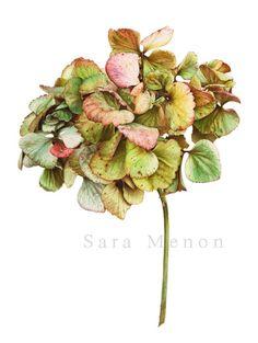 Hydrangea macrophilla - Sara Menon - Illustration@Science-Art.Com