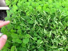 Mimosa pudica - Sensitive Plant Plays Dead When Touched Mimosa Pudica, Herb Labels, Sensitive Plant, Air Plants, My Flower, Horticulture, Purple Flowers, House Plants, Planting Flowers