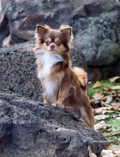 It looks like my little Paris. Chocolate long hair Chihuahua #chihuahuadaily #teacupdogs #teacupchihuahua