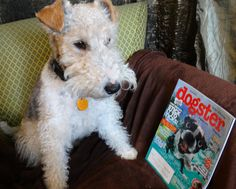 Smart Wire Fox Terrier :-) #rumplepimple reads #dogster https://www.facebook.com/RumplepimpleBook