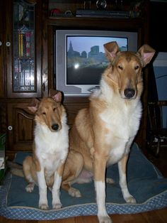 All things Collie: Poetry Saturday... Smooth collies