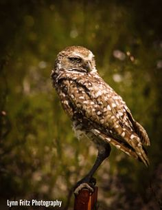 A mother owl stands watch.