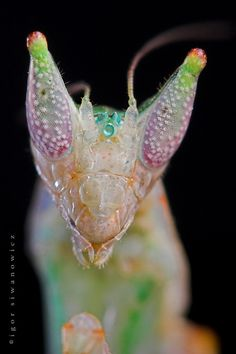 A face only a mother could love.  Gambian spotted-eye flower mantis, is a species of praying mantis native to Gambia. This small flower mantis grows to 1 inch in length and takes its name from two eye spots on the dorsal side of its abdomen of adult females.
