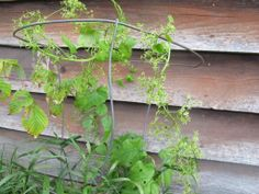 *** HABLITZIA *** is a herbaceous perennial VINE plant. The leaves are edible, similar to those of the related SPINACH.