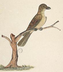 Norfolk starling - Wikipedia, the free encyclopedia