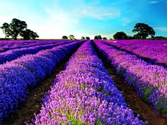 Beautiful lavendel field