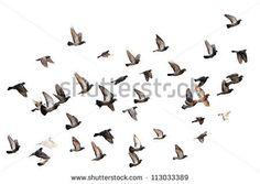 Flying pigeons - stock photo