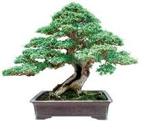 Types of Bonsai