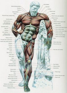 Malhar 100 Academia: Anatomia muscular do corpo humano