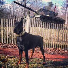 Built like a tank #doberman #dobermans_akc #dogsofinstagram #dobermann #dadedobermann #ddk #crazyrebels #doberman_pinschers #dobe #dobie #tank #veterans #america #strong