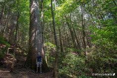 The Bear Creek Trail hikes North Georgia to the giant Gennett Poplar tree - Georgia's second largest tree
