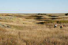Orvis endorsed wingshooting in Montana, Pheasant Hunting, Bird Hunting, Upland Hunting Pheasant Hunting, Wild Birds, Habitats, Montana, Sage, Safari, Wildlife, Country Roads, The Incredibles