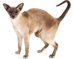 The Modern Siamese Cat - Cat Breeds Encyclopedia  The Modern Siamese cat has an exotic and dramatic appearance that was created through a concentrated effort by image-conscious breeders during the late 1960's to 1980's.